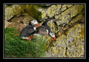 Atlantic puffin on the Látrabjarg cliffs